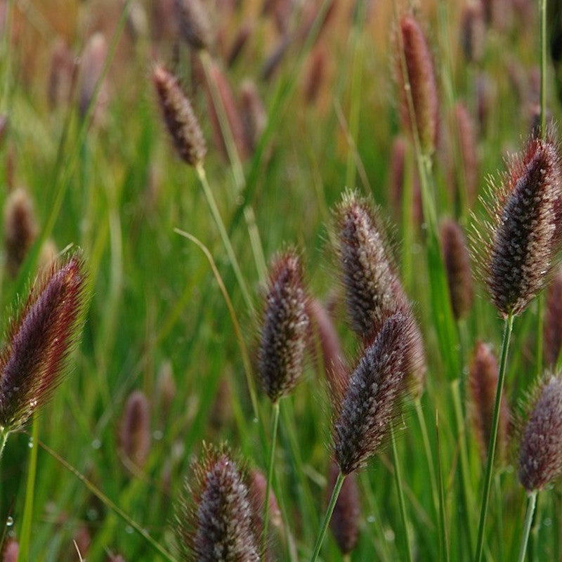 Pennisetum 'Red Buttons' close up flower head