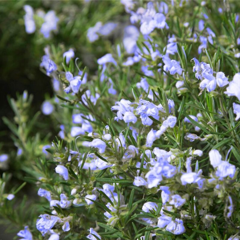 Rosmarinus officinalis 'Chef's Choice'