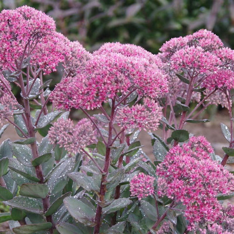 Sedum 'Thunder Head'