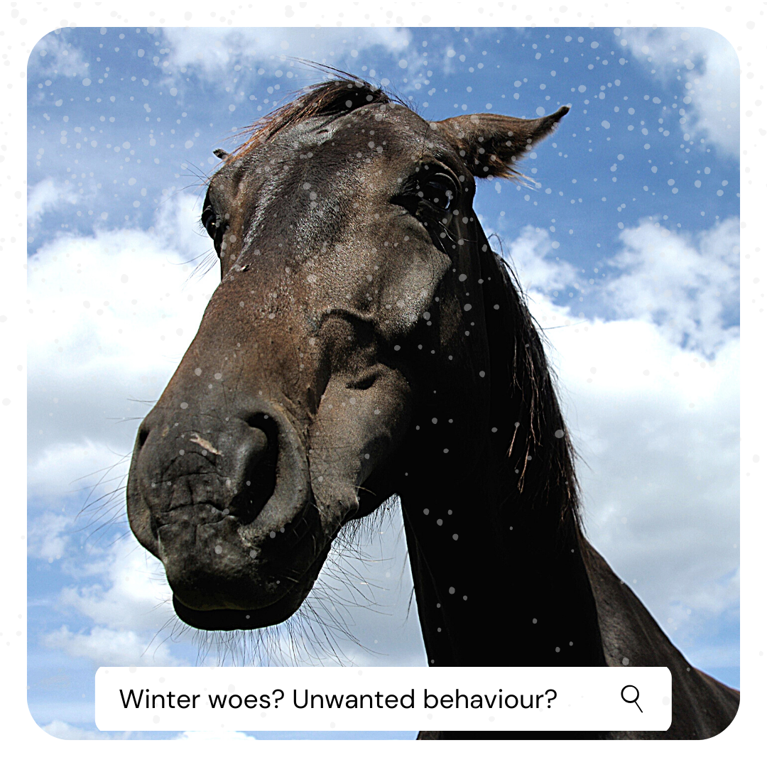 Blue_Chip_Feeding_horses_in_winter