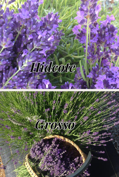 What Varieties of Lavender Do You Have On Your Farm?