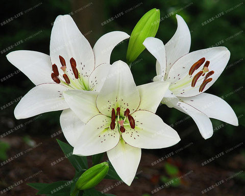 Special Bred Lily Flower Seeds - 50pcs per Bag