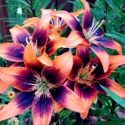 4pcs/pack - Lily Bulbs (Not Lily Seeds)
