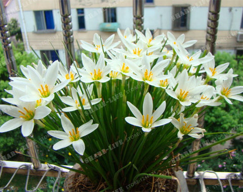 4pcs/bag Zephyranthes Candida Bulbs(Not Seeds)