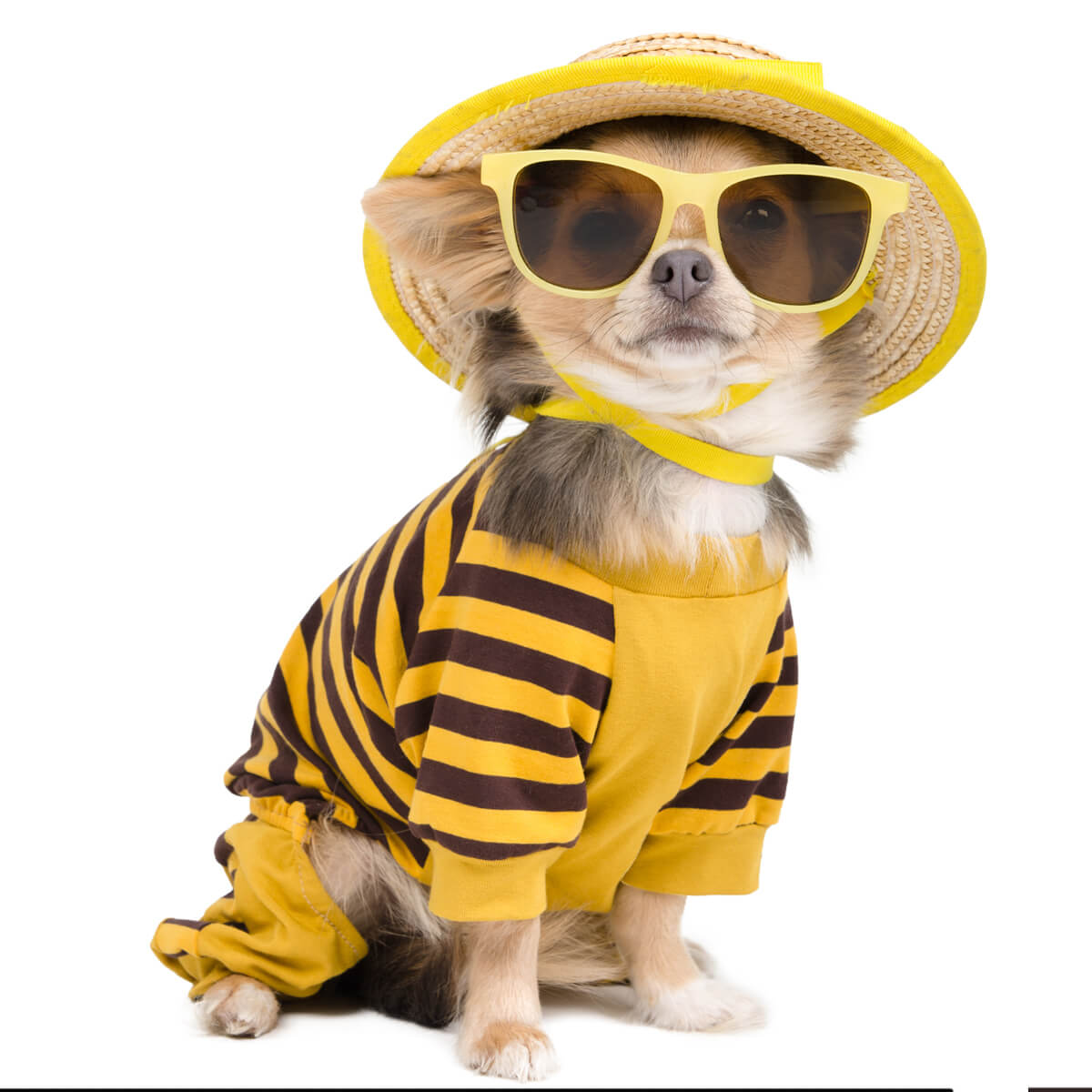 A Chihuahua mix dog dressed in yellow native hat, yellow sunglasses and yellow striped shirt.