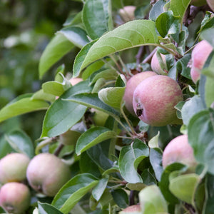 This Weekend:  Plan Ahead for Fruit Trees, Even in Containers