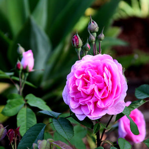 This Weekend: Pruning, especially roses