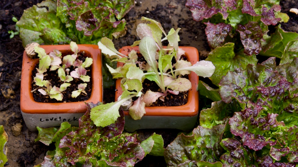 Lovelock lettuce transplants