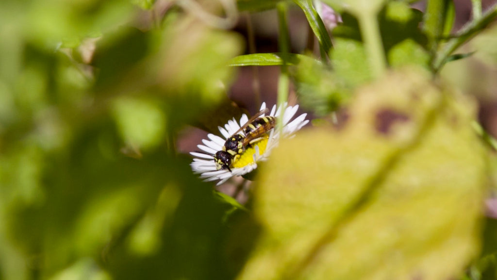 maybe a wasp on erigeron