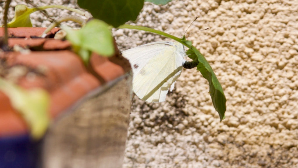 cabbage white butterfly depositing an egg