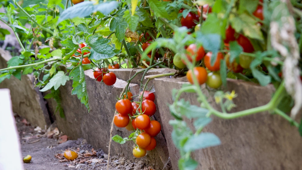 saving seed from heirloom tomatoes