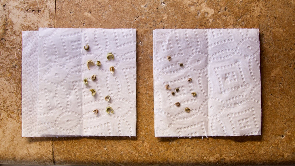 Germination test for calendula seeds