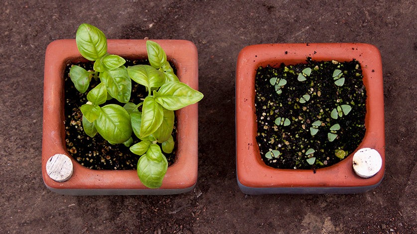 basil starts in self-watering planters