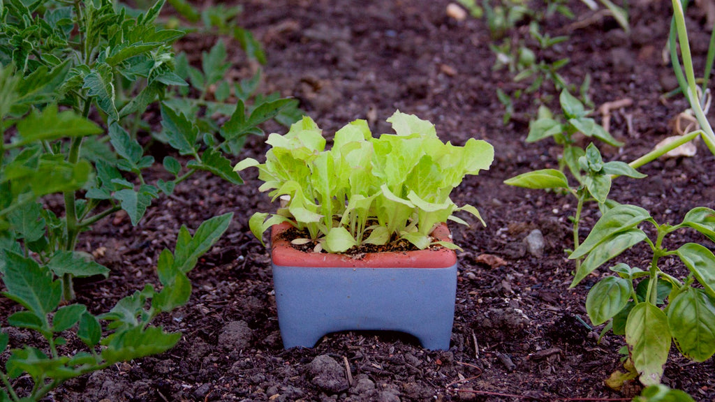 self watering pot with lettuce in garden