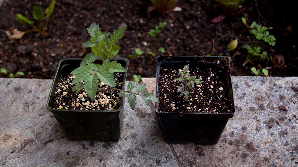 dwarf and regular tomato seedlings