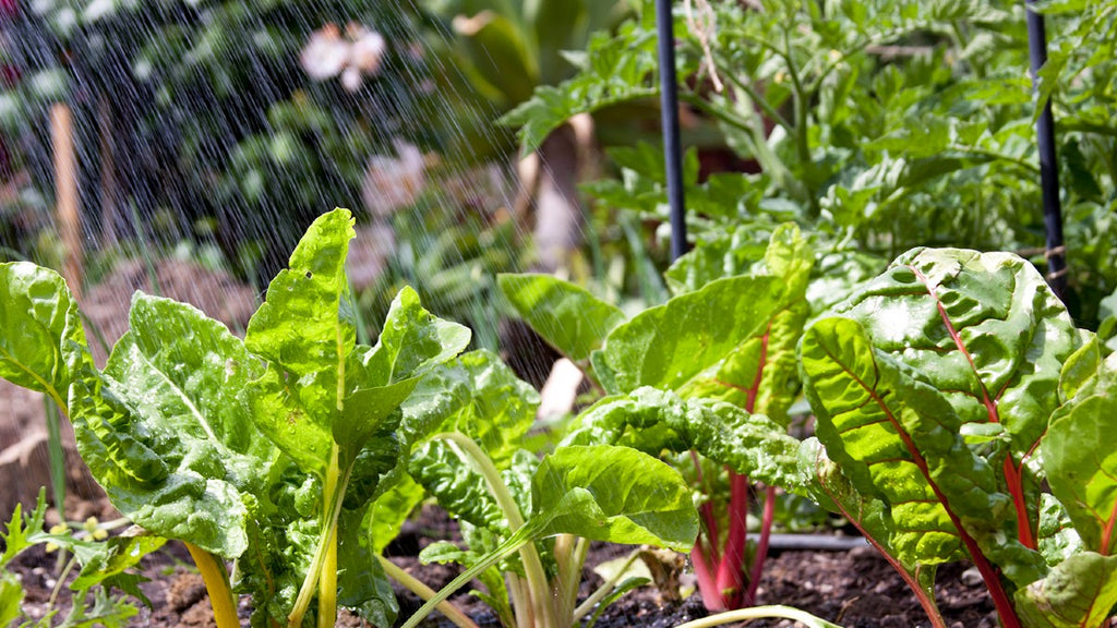 Watering chard in veggie bed