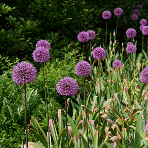 Purple Sensation Allium Bulbs