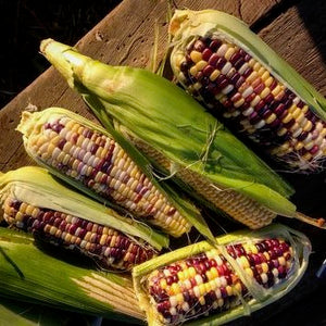 Festivity sweet corn