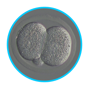 Mouse Embryos