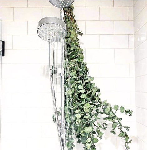 http://www.homecrux.com/eucalyptus-shower-and-its-health-benefits/101064/