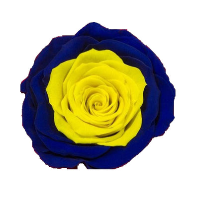 Blue and yellow single rose - Roses Ever After