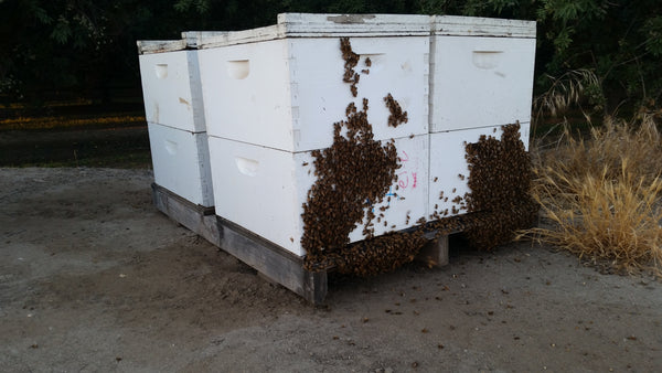 Live Bee Hives
