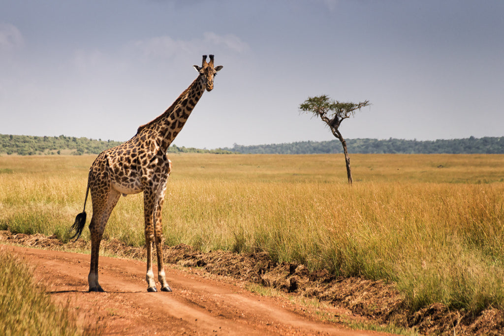 A Masai Giraffe in Masai Mara National Park in Kenya – World With WIldlife