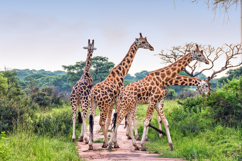 Nubian Giraffes in Murchison Falls National Park - world with wildlife