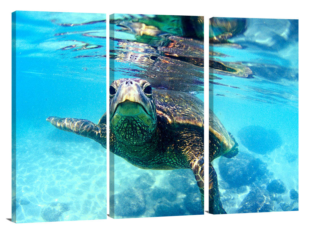 friendly Hawaiian sea turtle at Laniekea, north shore, 2002