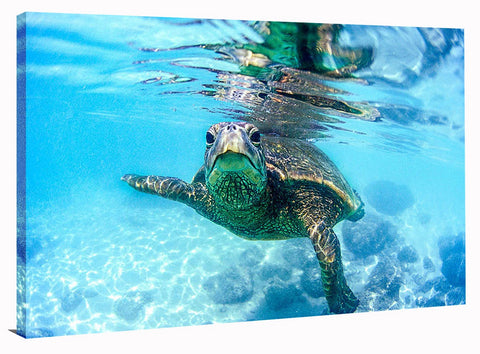 FRIENDLY HAWAIIAN SEA TURTLE, Ready-to-Hang Photographic Print On Canvas