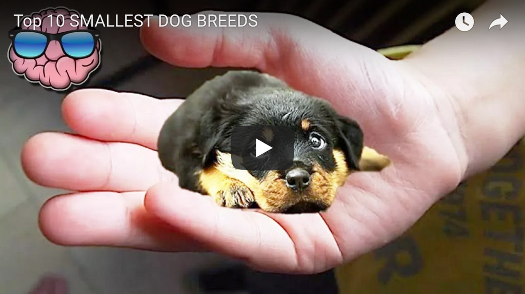 List of the Top 10 SMALLEST Dog Breeds