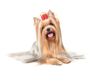 Yorkshire terrier lovers