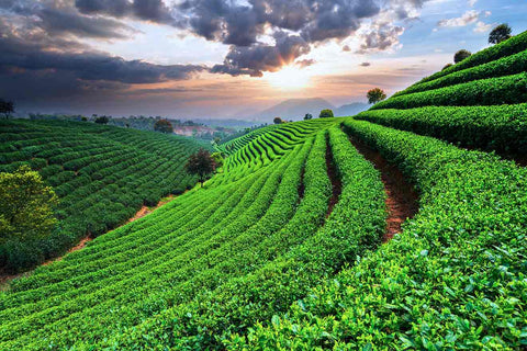 Organic Tea Farm, Non GMO, Matcha Universe x My Fantasy Tea Organic Raw Vegan Healthy Tea- Best Green Tea