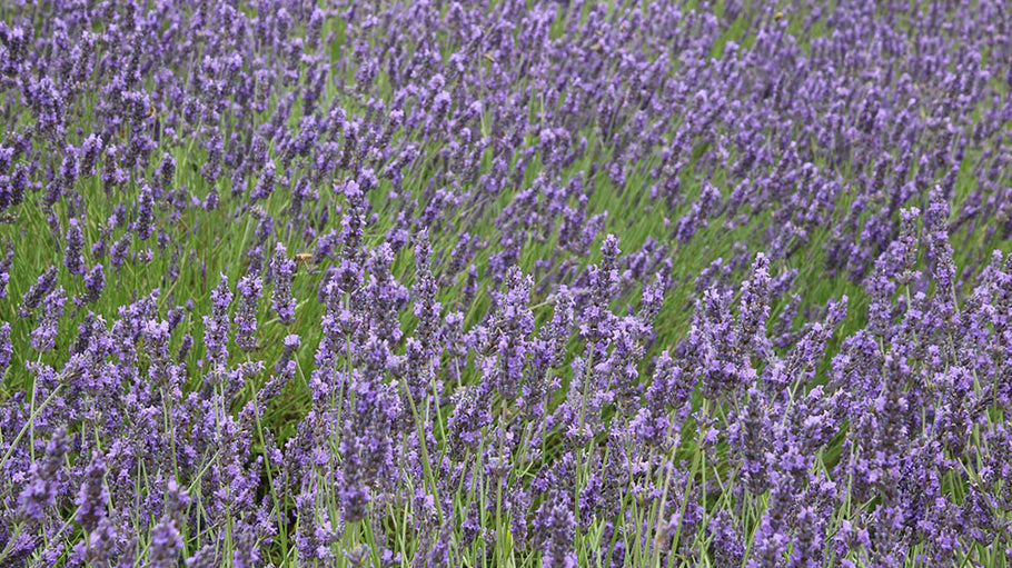 A trip to Hertfordshire to see a sea of purple