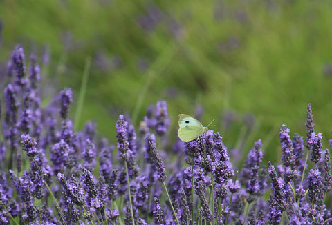 Butterfly at Hitchin Lavender, in the Taylor Benfield blog