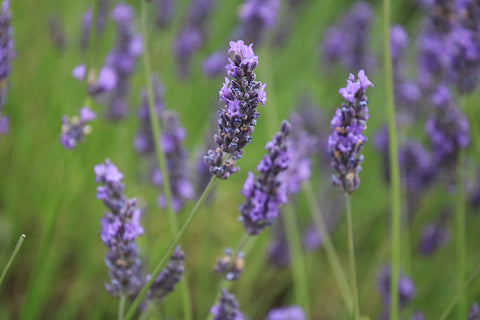 Close up shot of Lavender, taken at Hitchin Lavender, courtesy of Taylor Benfield luxury scented candle blog