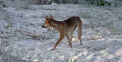 Dingo on Fraser Island - Taylor Benfield blog