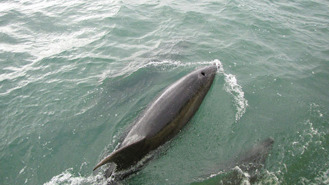 Bottle nosed dolphins in the bay of islands