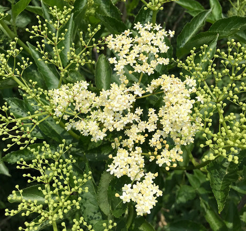 Elderflower - scents of summer