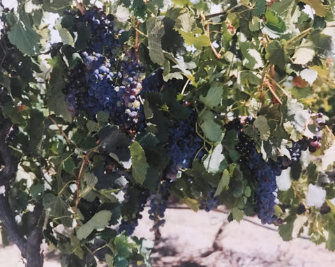 Grapes at Barossa, South Australia