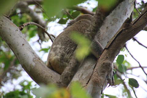 Fierce looking Koala, Sunshine coast, Queensland