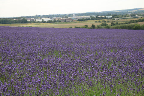 Fields of Lavender, Hitchin Lavender, Taylor Benfield Blog