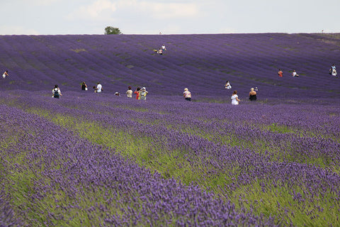 People in a sea of Lavender at Hitchin Lavender, in Taylor Benfield's Blog