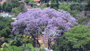 Jacaranda Tree in South Africa - Taylor Benfield Luxury Scented Floral & Ginger Candle