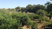 Gardens in Mallorca with Orange Trees - Taylor Benfield Luxury Scented Grapefruit & Orange Blossom Candle