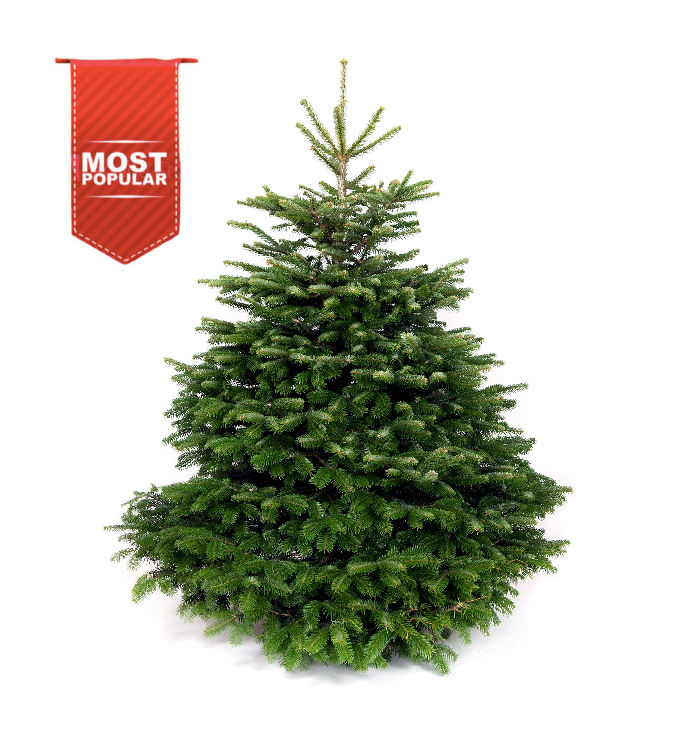 Real Christmas Tree - Nordmann Fir - Free Delivery – Forest & Fir