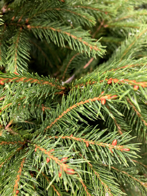 Potted Norway Spruce