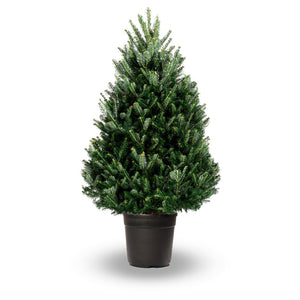 Potted Frazer Fir