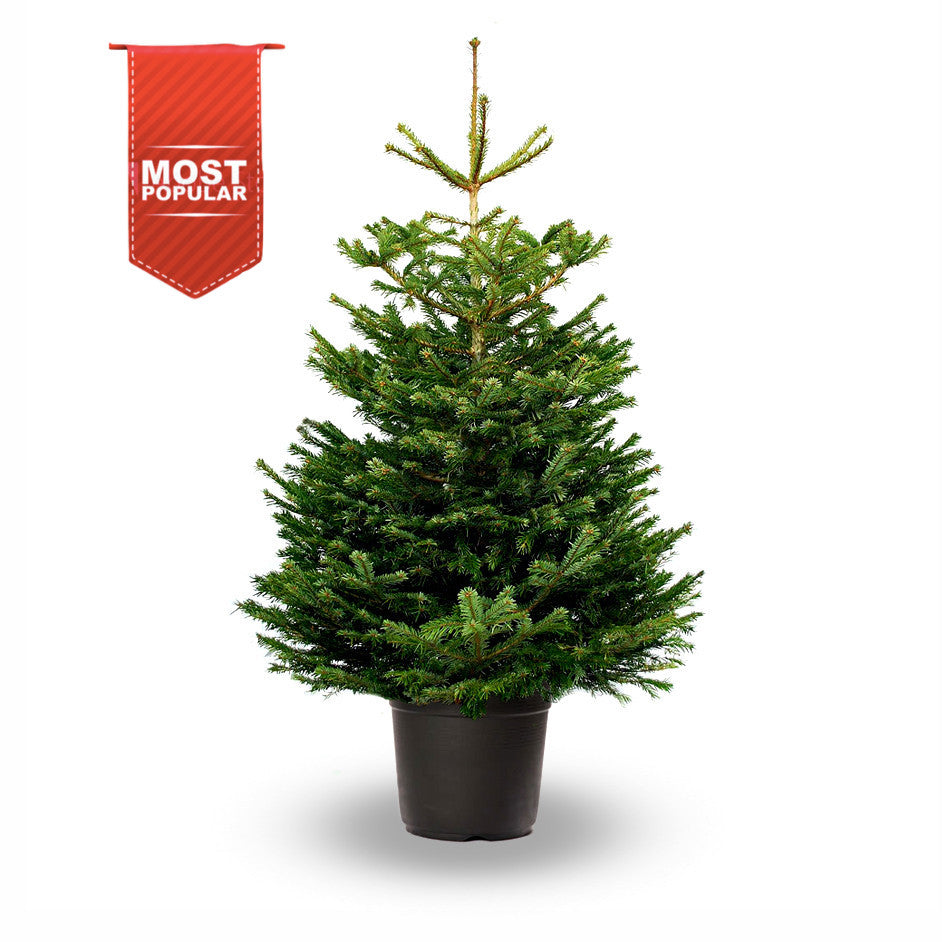 Potted Nordmann Fir