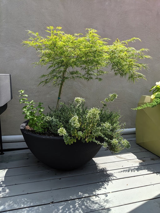 "Delano 34"" Planter with Japanese Maple"